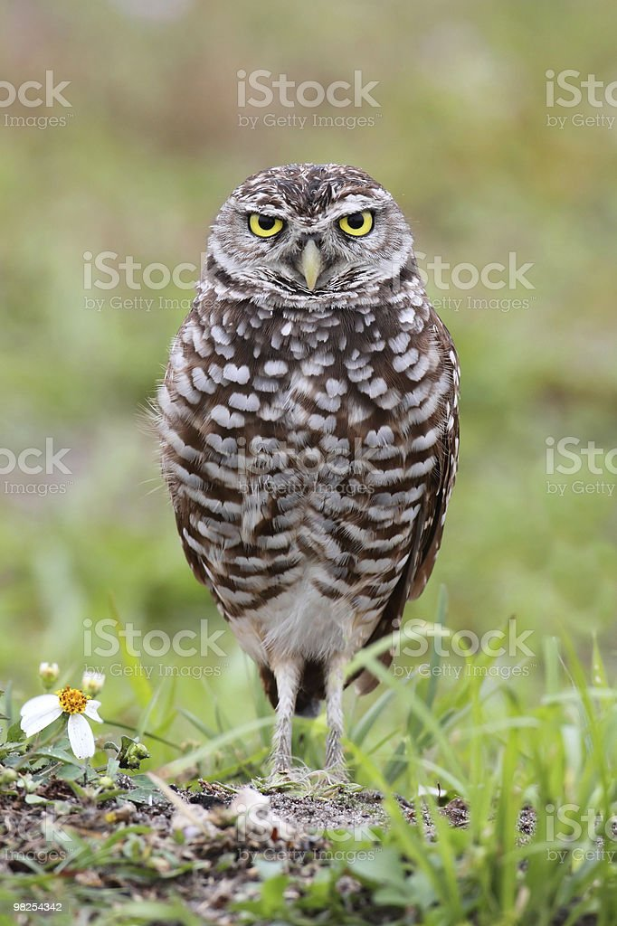 Burrowing Owl (athene cunicularia) royalty-free stock photo