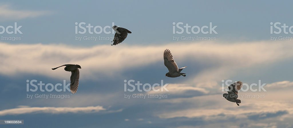 Burrowing Owl (Speotyto cunicularia) Silhouetted in Flight Against Cloudy Sky stock photo