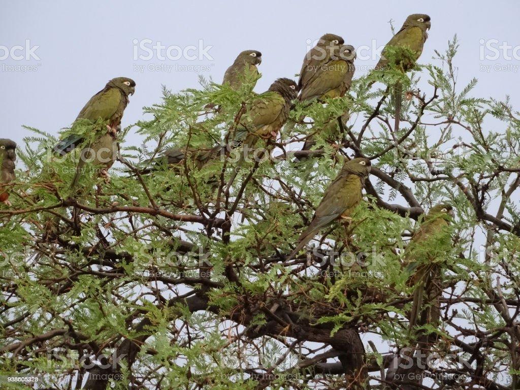 burrowing parrot, or patagonian conure, Cyanoliseus patagonus, close to Cafayate, Argentina stock photo