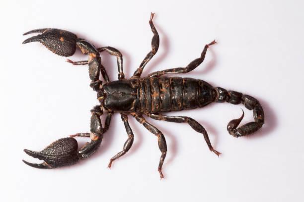 grabende skorpion, heterometrus phipsoni, scorpionidae, mumbai, maharashtra, indien - skorpion stock-fotos und bilder