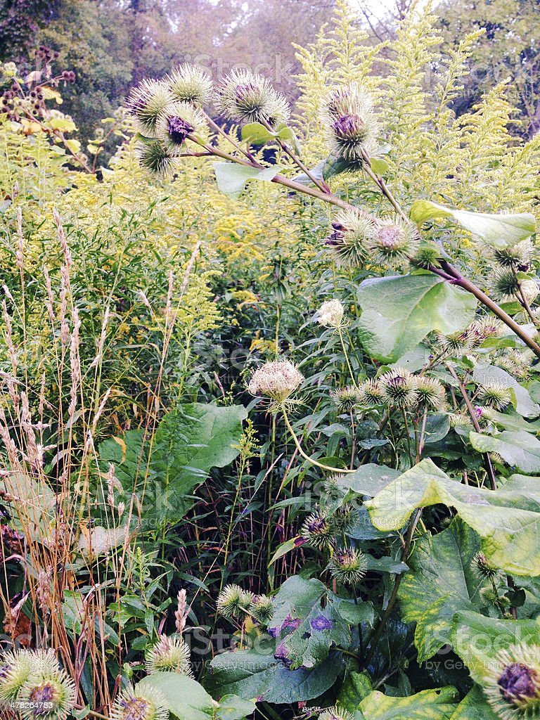 Burs in Meadow royalty-free stock photo