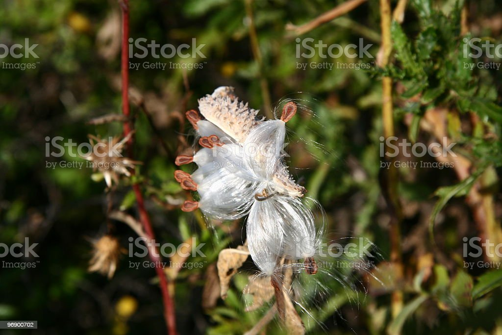 Burst Milk Weed Pod royalty-free stock photo