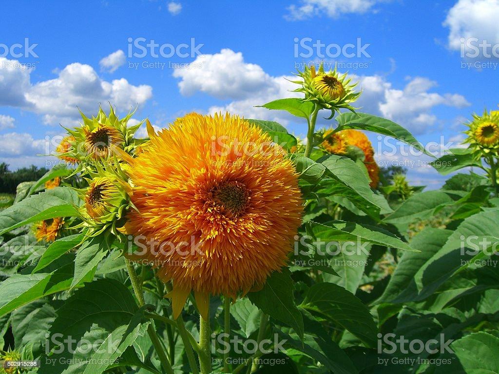 Bursting Sunflowers stock photo