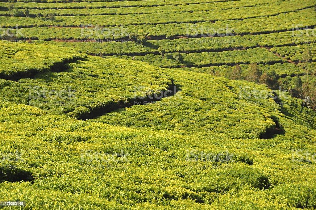 Burundi - Muramvya province - tea plantation stock photo