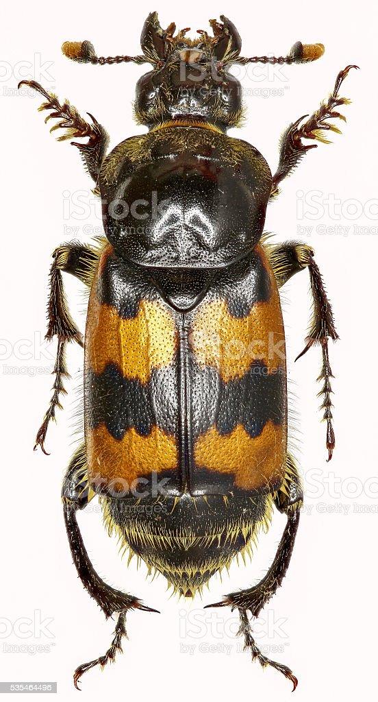 Burying Beetle on white Background stock photo