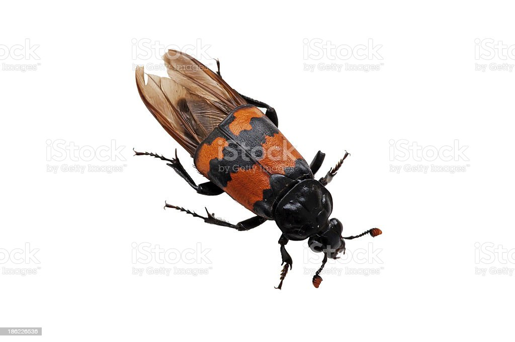 Burying beetle (Nicrophorus vespilloides) stock photo