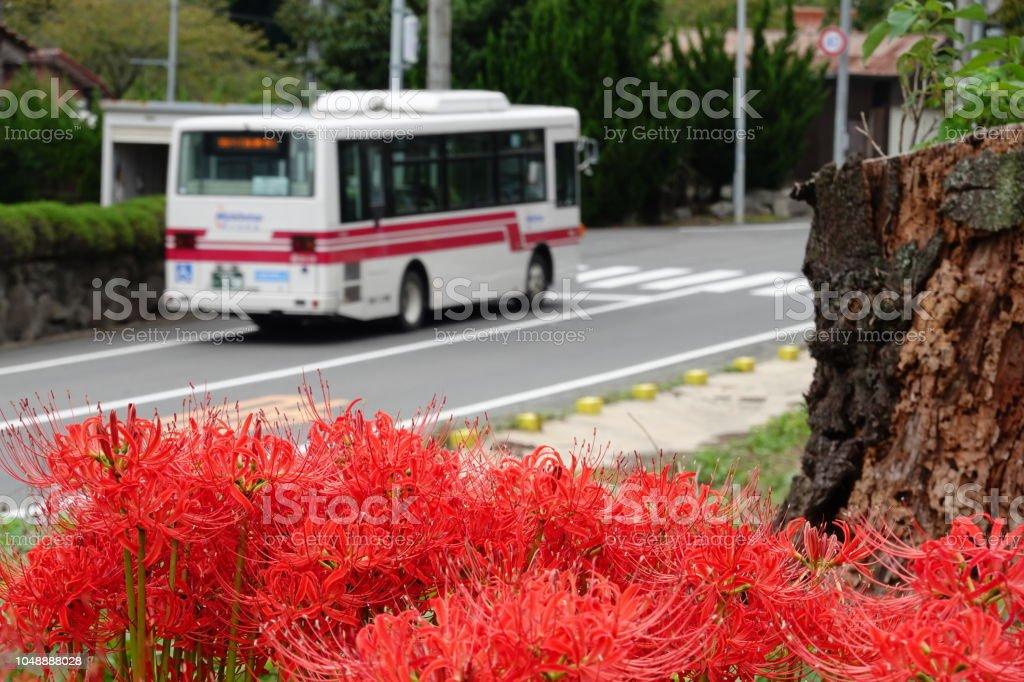 バスとリコリス ラジアータの花。 ストックフォト
