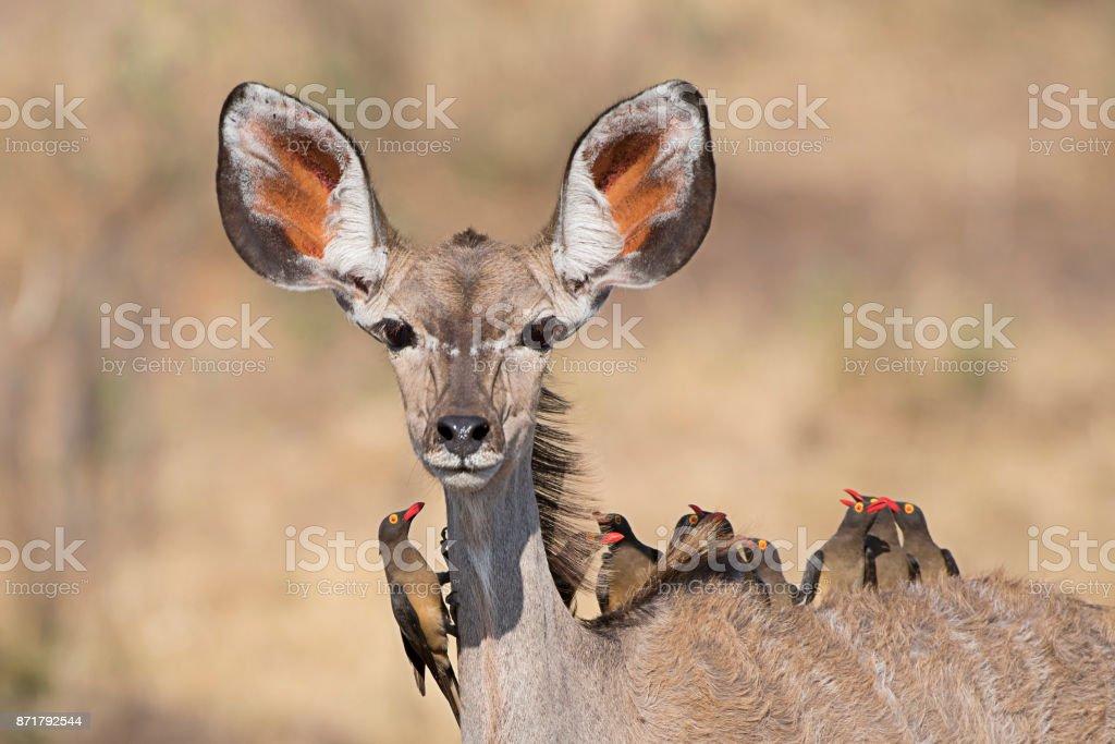 Bus-Service - eine weibliche Kudu nehmen um eine Gruppe von 10 Oxpeckers – Foto
