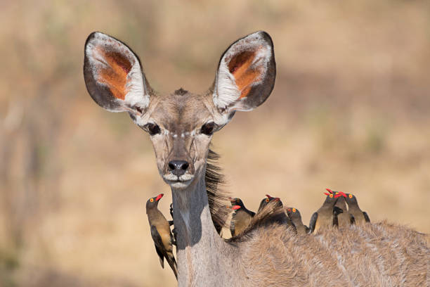 Bus Service - A Female of Kudu taking around a group of 10 Oxpeckers A Female of Kudu taking around a group of 10 Oxpeckers in Caprivi Area - Namibia namibia stock pictures, royalty-free photos & images