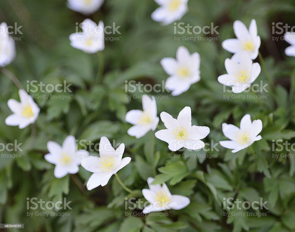 Buschwindroschen, Windflower (Anemone Nemorosa) stock photo