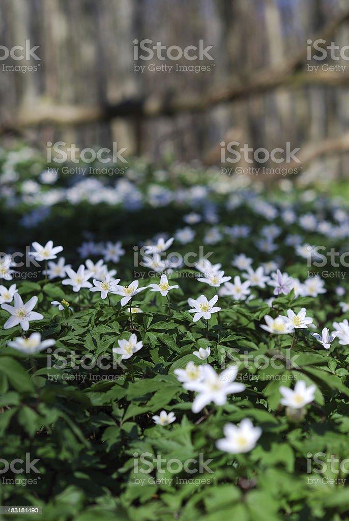 Buschwindröschen im Frühling stock photo