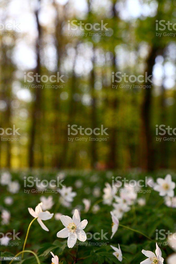 Buschwindröschen stock photo