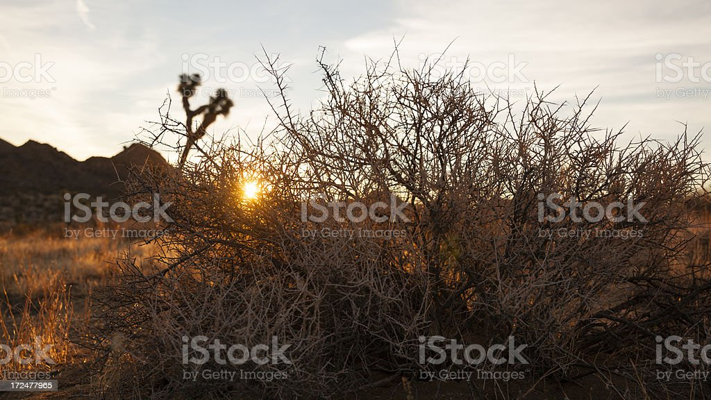 Bush before sun at sunrise. Joshua Tree national park royalty-free stock photo