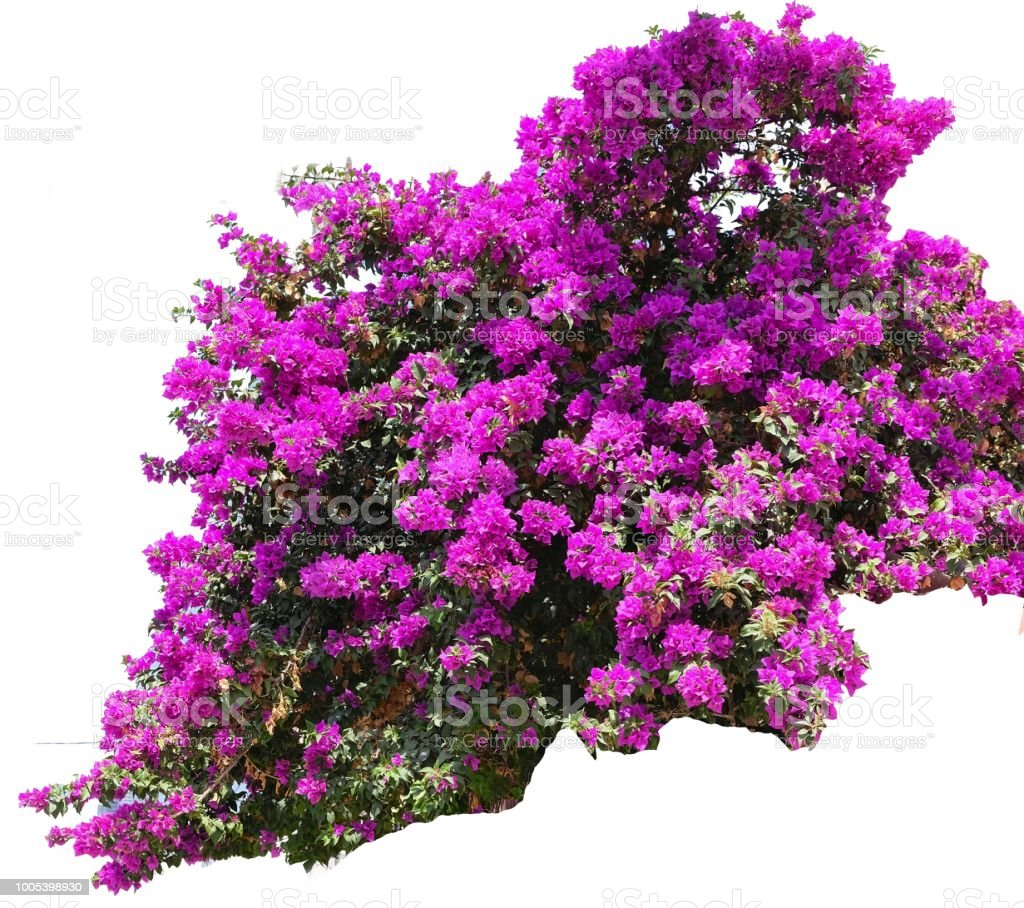 Bush Bougainvillea With Flowers Of Bright Purple Color A Genus Of