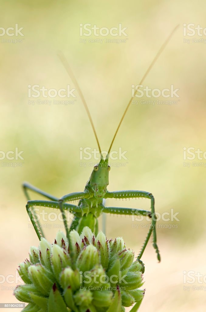 Bush cricket looking from behind the green flower stock photo