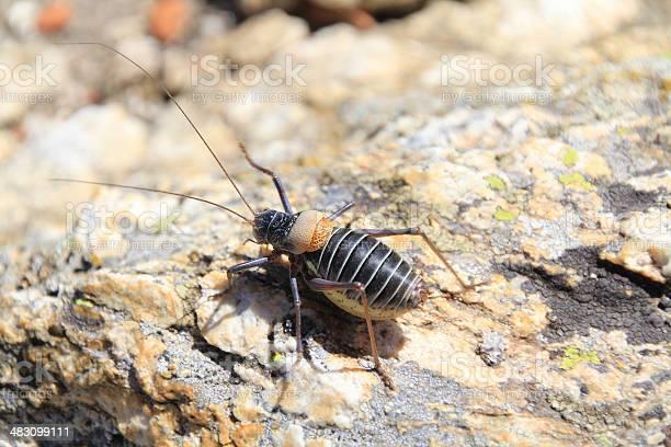 Bush cricket typical of the sierra de madrid picture id483099111?b=1&k=6&m=483099111&s=612x612&h=5inzxudzlrfwi cafk0mug s5slzsg7p9nr4aozalna=