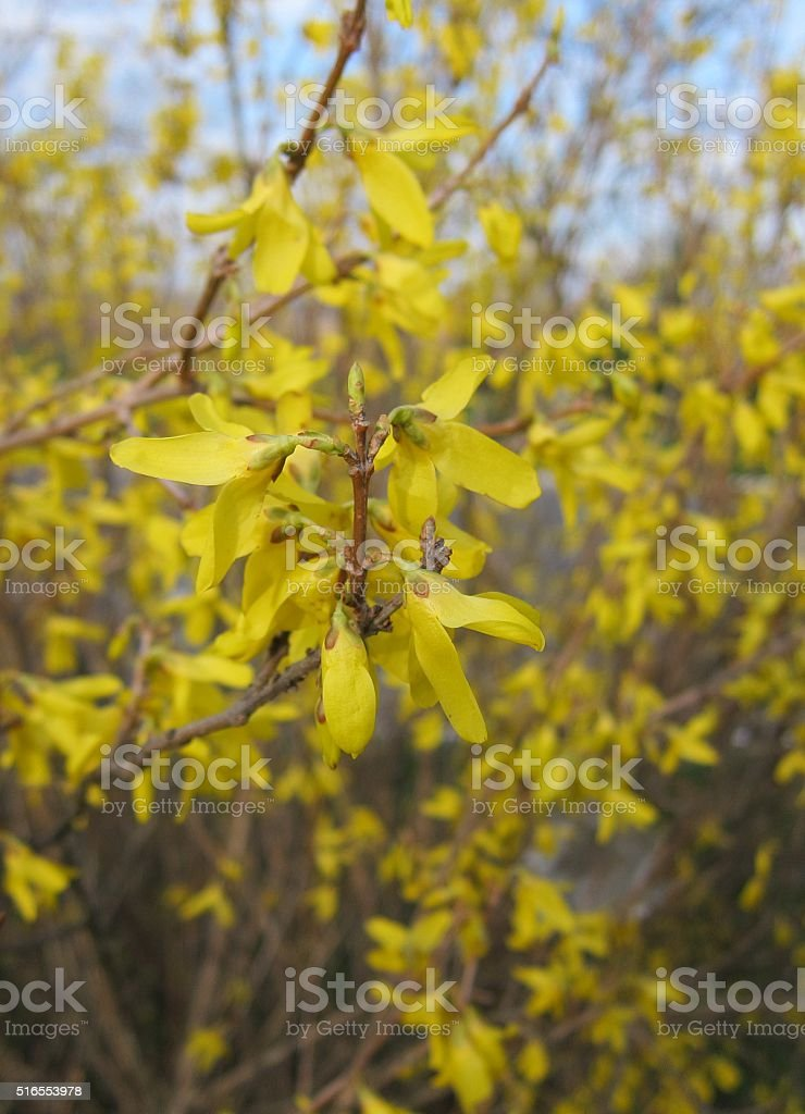 Bush Forsythia With Yellow Flowers In Early Spring Stock Photo