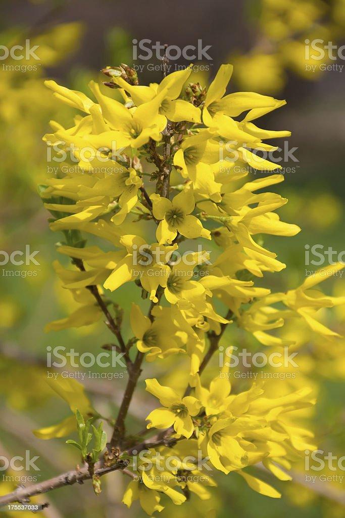bush forsythias stock photo
