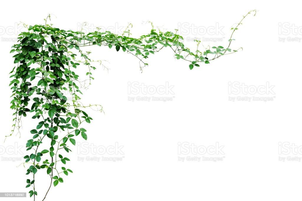 Bush grape or three-leaved wild vine cayratia (Cayratia trifolia) liana ivy plant bush, nature frame jungle border isolated on white background, clipping path included.