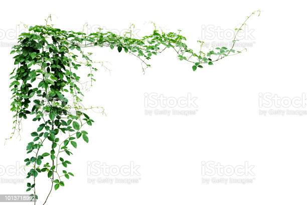 Bush grape or threeleaved wild vine cayratia liana ivy plant bush picture id1013718992?b=1&k=6&m=1013718992&s=612x612&h=v9zxpdrwv2r8sxciwa5egsoxge2fco38kcdbkh5k6my=