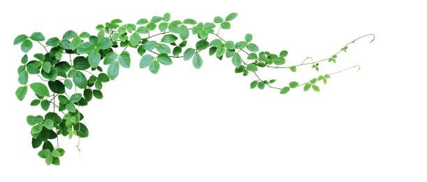 Bush grape or three-leaved wild vine cayratia (Cayratia trifolia) liana ivy plant bush, nature frame jungle border isolated on white background, clipping path included. Bush grape or three-leaved wild vine cayratia (Cayratia trifolia) liana ivy plant bush, nature frame jungle border isolated on white background, clipping path included. green leaf stock pictures, royalty-free photos & images
