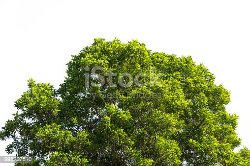 bush green leaves and branches of treetop isolated on white background for design and decorationbush green leaves and branches of treetop isolated on white background for design and decoration