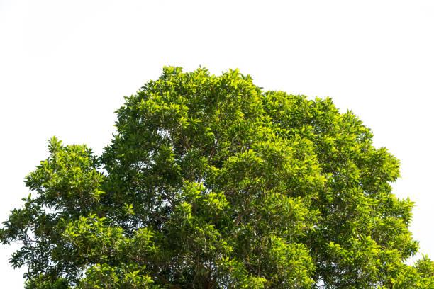 Busch, grünen Blättern und Ästen der Baumkrone isoliert auf weißem Hintergrund für Design und Dekoration – Foto