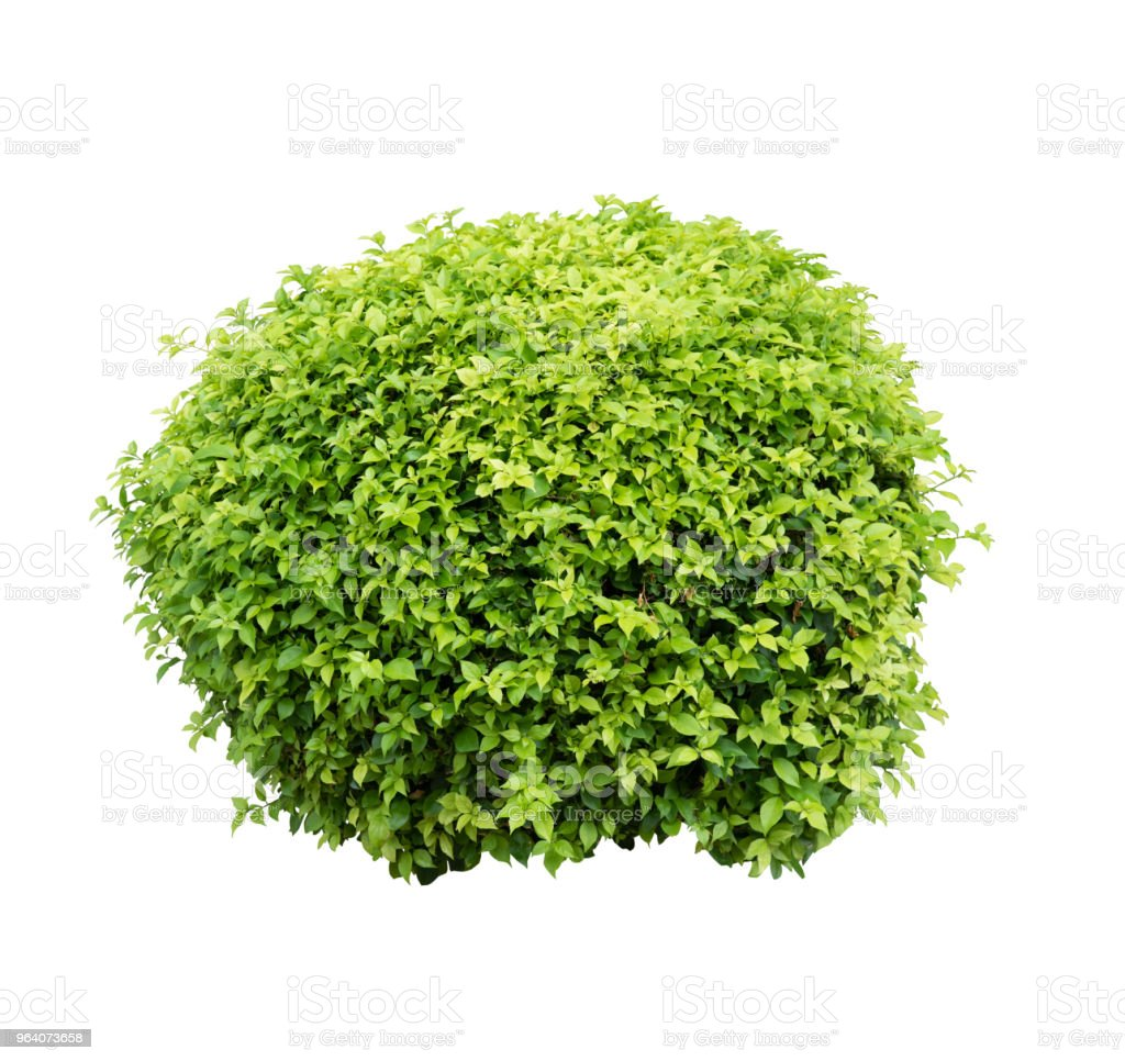 Bush isolated on white background,Objects with Clipping Paths - Royalty-free Bush Stock Photo