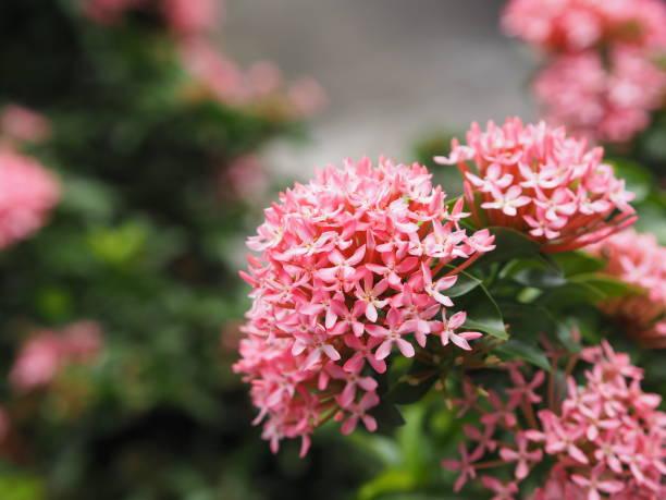 bush ixora chinensis die in tuin op aardachtergrond bloeit, rubiaceae roze bloem - pauwenkers stockfoto's en -beelden