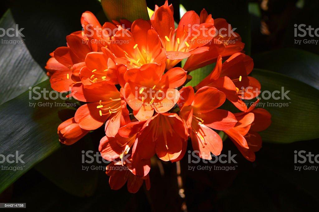 Bush lily flowers Latin name Clivia miniata stock photo