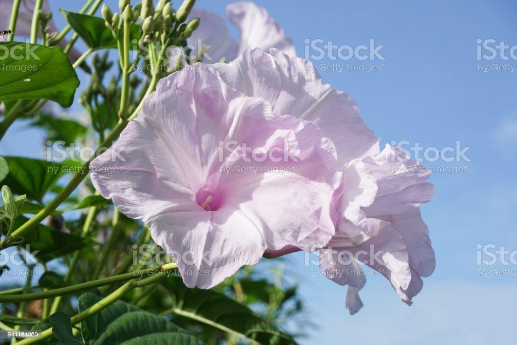 flor de Miosótis arbusto no jardim da natureza - foto de acervo