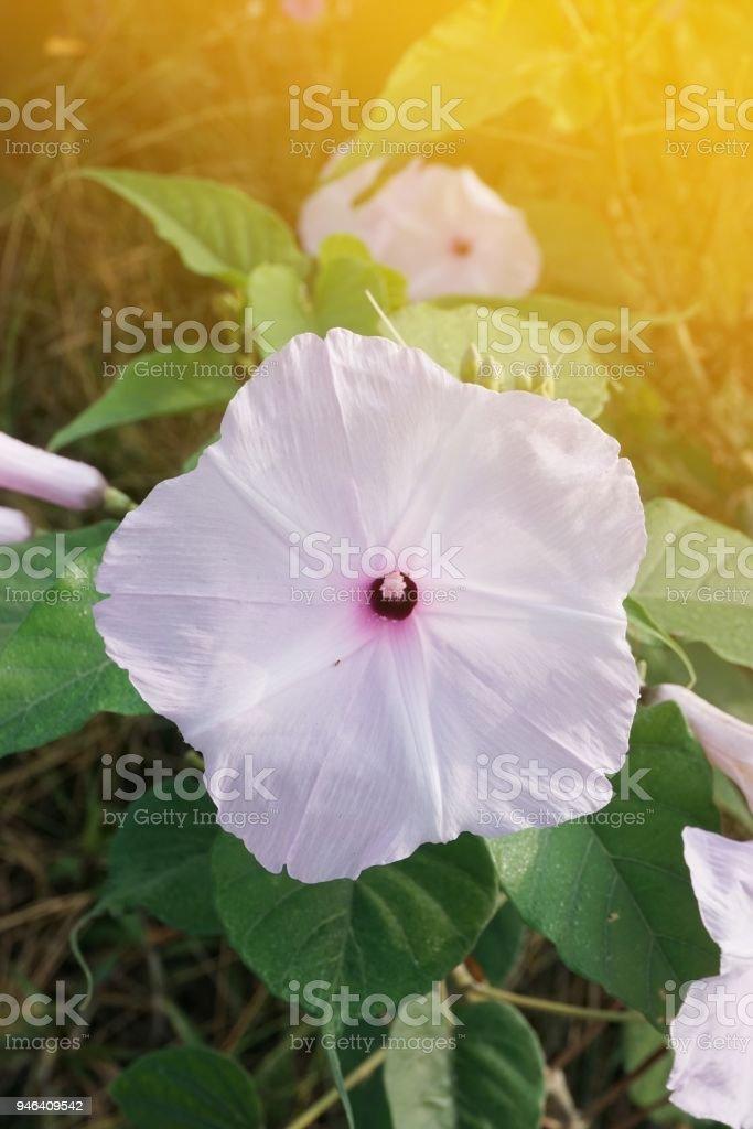 Glória da manhã Bush flor no jardim da natureza - foto de acervo