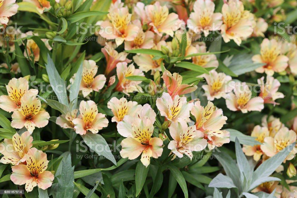 Bush of Alstroemeria flower stock photo