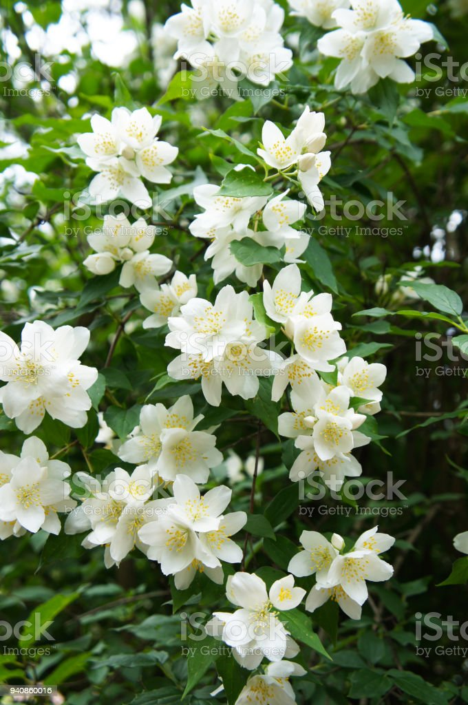 Bush of aromatic white philadelphus flowers stock photo