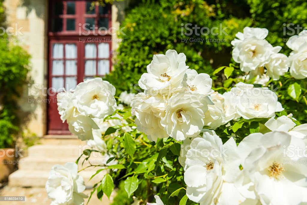 Bush of beautiful roses in a garden stock photo