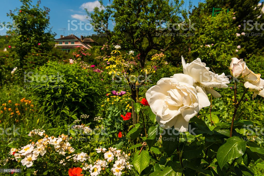 Bush of beautiful roses in a garden royalty-free stock photo