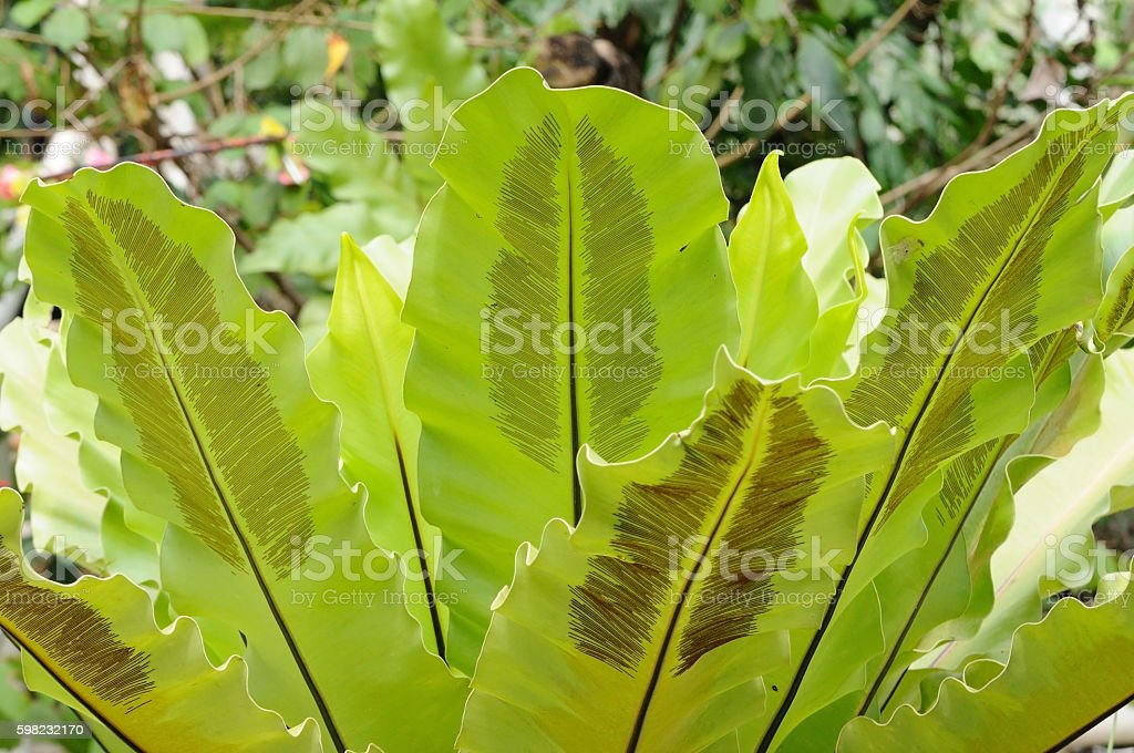 Bush of big green leaf foto royalty-free