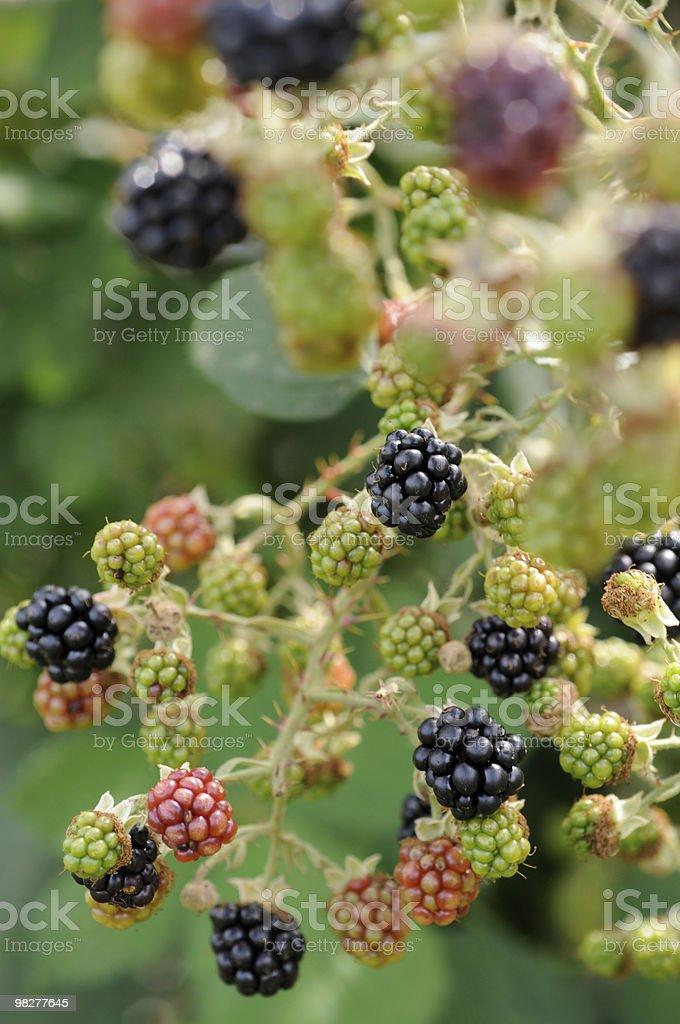 bush of blackberries royalty-free stock photo