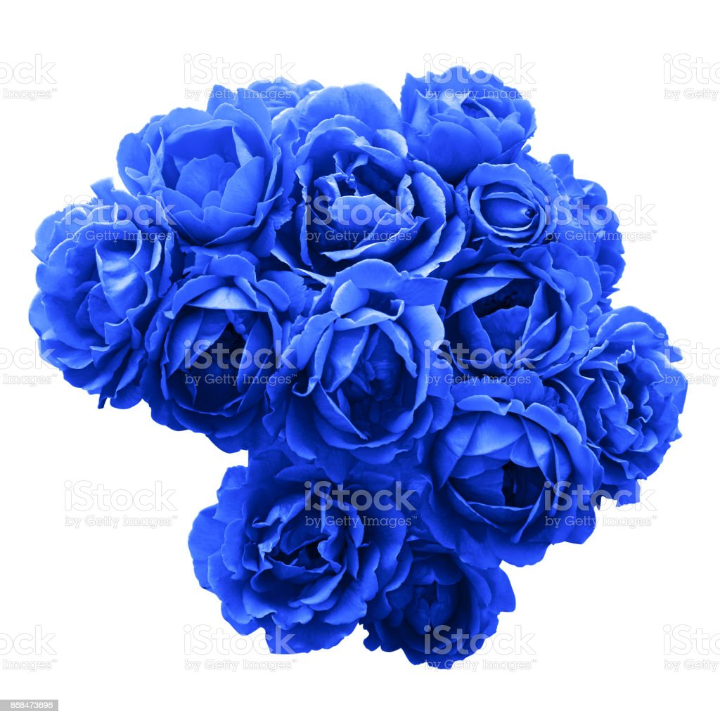 Bush of blue rose flowers macro isolated on white stock photo