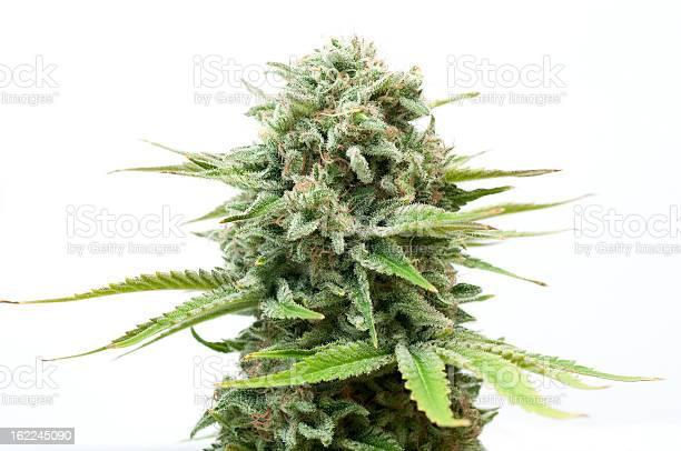 Bush of cannabis picture id162245090?b=1&k=6&m=162245090&s=612x612&h=534t7ilgdte k1h4szpcsr9nigb1uu8ult7k4hmi79u=