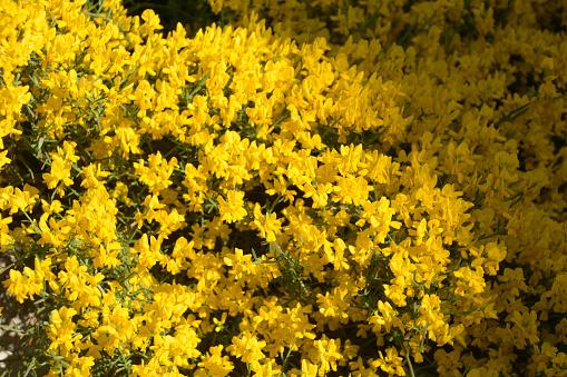 bush of genista pulchella in summer sun
