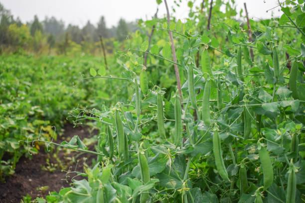여름에 정원에서 녹색 완두콩의 부시 맛 있는 - 그린빈 뉴스 사진 이미지