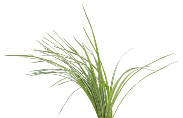 bush of green sedges. - organizm wodny zdjęcia i obrazy z banku zdjęć