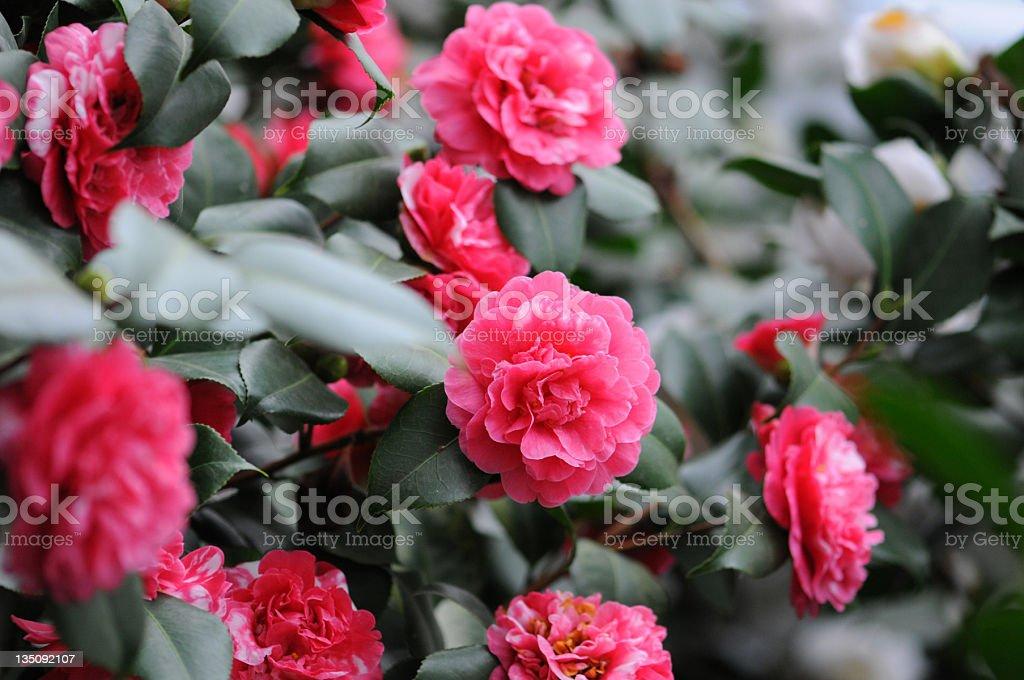 bush of Japanese Camellia (Camellia japonica) royalty-free stock photo