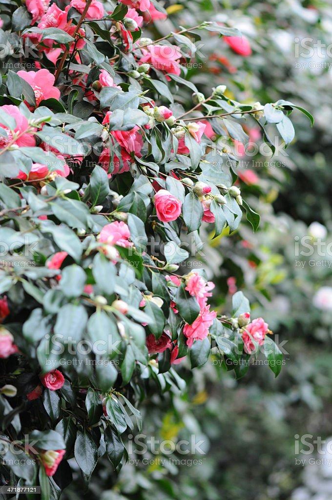 bush of Japanese Camellia (Camellia japonica) stock photo