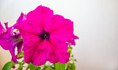 Bush of petunia flowers on a white background. Concept image.