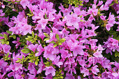 Bush of pink rhododendron flowers