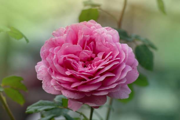 Bush of pink roses jubilee celebration picture id1253472328?b=1&k=6&m=1253472328&s=612x612&w=0&h=kdcohxrkqp6pkvk4nuwvi yfn5uhzcbwqs5kbto ovm=