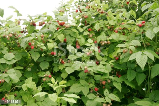 istock Bush of raspberries 149418151