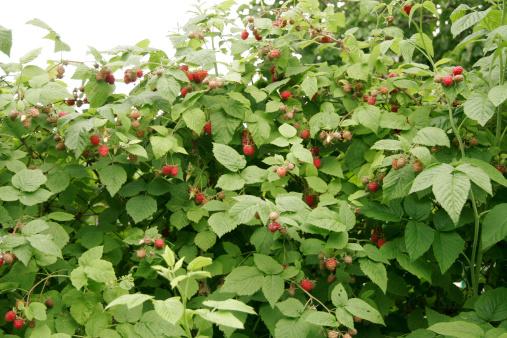 istock Bush of raspberries 149418151